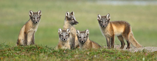 Arctic Fox Pups, Arctic National Wildlife Refuge, Summer 2006, Dave Snowberg Photography